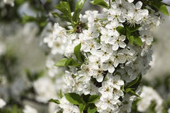 Cherry flowers early spring in garden Royalty Free Stock Images