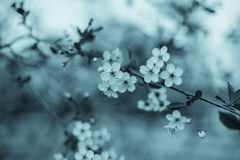 Cherry flowers blooming Royalty Free Stock Images