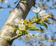 Cherry flowers and the first leaves in spring Royalty Free Stock Image