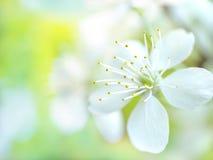 Cherry flowers Stock Photo