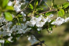 Cherry flowers flourish on the tree in the garden on spring. Cherry flowers flourish on the tree in the garden in Poland on spring royalty free stock images