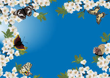 Cherry flowers frame and butterflies on blue Stock Image