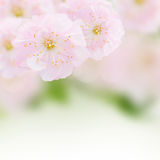 Cherry Flowers in green garden Stock Photo