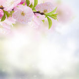 Cherry Flowers in green garden Royalty Free Stock Photos