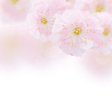 Cherry Flowers in green garden Royalty Free Stock Images