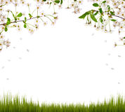 Cherry flowers half frame and green grass Stock Photography