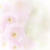 Cherry Flowers i gräsplanträdgård Royaltyfri Bild