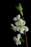 Cherry flowers isolated on black. Cherry branch with white flowers Royalty Free Stock Photo
