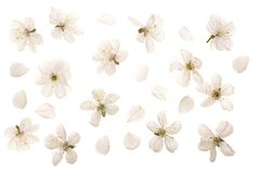 Cherry flowers isolated on white background. Top view. Flat lay. Set or collection.  royalty free stock images