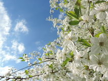Cherry flowers. Look at the white cherry flowers and remember the aroma of spring Royalty Free Stock Image