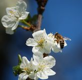 Cherry-flowers with a nice little bee and blue bac. Kground Stock Photo