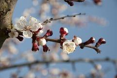 Cherry Flowers - Niederlassung eines bloosoming chery Baums Stockfoto