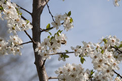 Cherry Flowers - Niederlassung eines bloosoming chery Baums Lizenzfreie Stockfotos