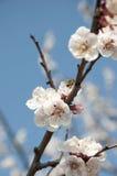 Cherry Flowers - Niederlassung eines bloosoming chery Baums Stockbild