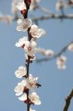 Cherry Flowers - Niederlassung eines bloosoming chery Baums Lizenzfreies Stockbild