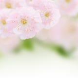 Cherry Flowers no jardim verde Foto de Stock