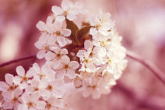 Cherry Flowers On Tree. Royalty Free Stock Image