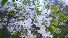 Cherry Flowers på vinden 1 stock video