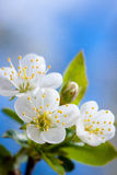 Cherry flowers. Photo taken in the spring in the garden Royalty Free Stock Images