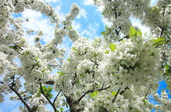 Cherry flowers. Photography of cherry tree flowers Stock Image
