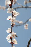 Cherry Flowers - ramo de uma árvore bloosoming do chery Imagem de Stock Royalty Free