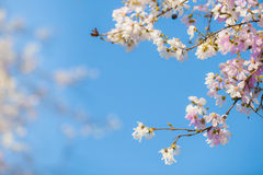 Cherry flowers  Sacura on blue sky background. Royalty Free Stock Photography