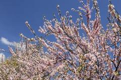 Cherry flowers Sacura on sky background Royalty Free Stock Photo