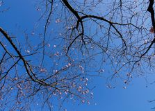 Cherry blossom at the springtime Royalty Free Stock Image