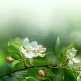 Cherry flowers in soft focus. Macro of cherry flowers in soft focus Royalty Free Stock Photos