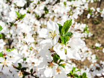 Cherry flowers. Spring cherry flowers with macro Stock Images