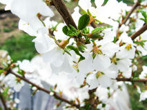 Cherry flowers. Spring cherry flowers with macro Stock Photography