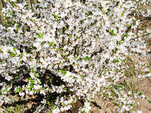 Cherry flowers. Spring cherry flowers with macro Royalty Free Stock Photography