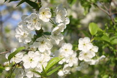 Cherry flowers in spring. White cherry flowers in spring Royalty Free Stock Images