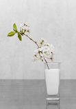 Cherry flowers standing in milk. Combination of color and black & white images. Conception of vitality and new life Royalty Free Stock Photography
