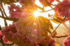 Cherry flowers with stared sunrise background Stock Photos