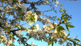 Cherry flowers at sunset. Cherry blossoms in the spring at sunset. Close-up stock video