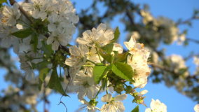 Cherry flowers at sunset. Cherry blossoms in the spring at sunset. Close-up stock video footage