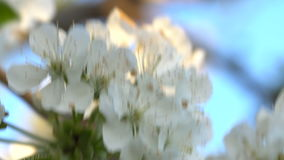 Cherry flowers at sunset. Cherry blossoms in the spring at sunset. Close-up stock footage