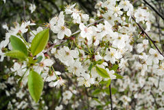 Cherry flowers on tree branches Royalty Free Stock Photography