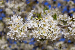 Cherry in flowers Stock Photos