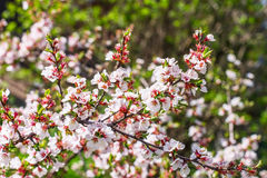 Cherry flowers on twig. Sakura cherry flowers on twig stock photography