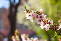 Cherry flowers on twig. Sakura cherry flowers on twig royalty free stock images
