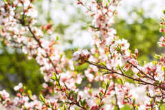 Cherry flowers on twig. Sakura cherry flowers on twig royalty free stock image
