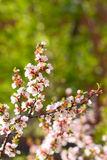 Cherry flowers on twig. Sakura cherry flowers on twig royalty free stock photo