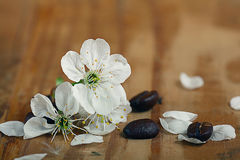 Cherry flowers and twigs on a wooden Royalty Free Stock Photo
