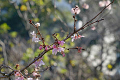 Cherry flowers at urban park in Tokyo, Japan Royalty Free Stock Photo