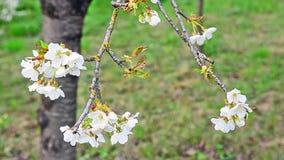 Cherry flowers stock video footage