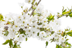 Cherry flowers. Royalty Free Stock Photography