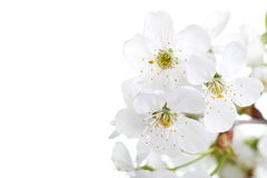Cherry flowers on white Royalty Free Stock Images