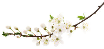 Cherry flowers on white. Stock Photo